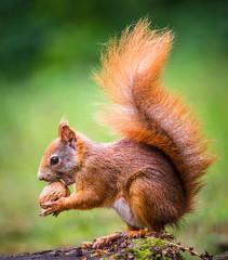Deurstickers Eekhoorn squirrel eats a nut