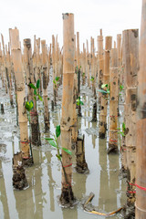 Mangroves reforestation in coast of Thailand