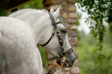 Fototapete - andalsian stallion