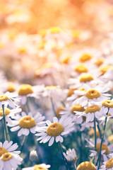 Meadow with beautiful wild daisy flowers