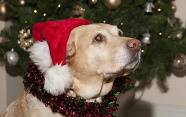 Labrador dog wearing a Santa Hat at Christmastime