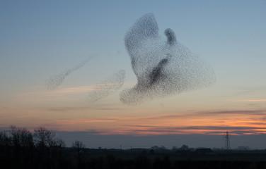 Türaufkleber Vogel Starlings at Dusk