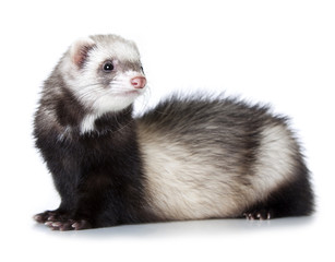 Wall Mural - young ferret
