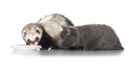 Fototapete - eating ferret and little kitten