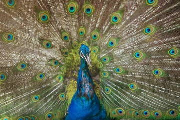Peacock showing its beautiful feathers.