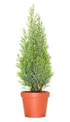 Cypress in pot, isolated on white background