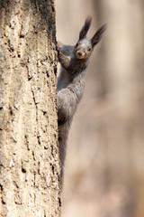Sciurus vulgaris, Red Squirrel.