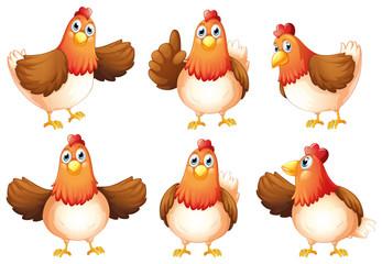 Six fat chickens