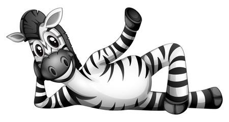 A zebra resting