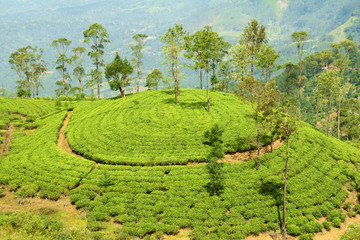 Wall Mural - tea plantation hill