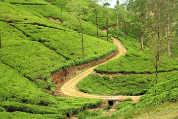 Wall Mural - path in tea plantation