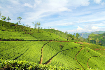 Wall Mural - tea plantation landscape