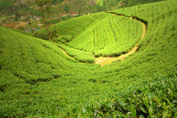 Wall Mural - green tea plantation