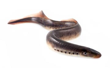 Lamprey fish