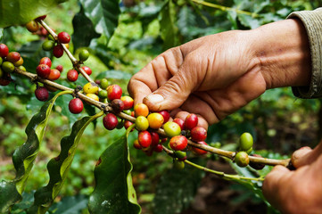 Picking coffee