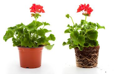 geranium are often used flowers for the balcony, isolated on a w