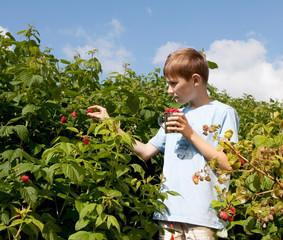 Boy gathering ripe raspberry from bush.