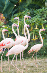 greater flamingo group