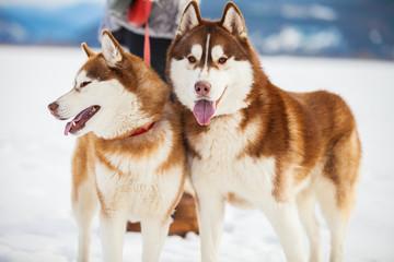 Two husky dogs closeup portrait