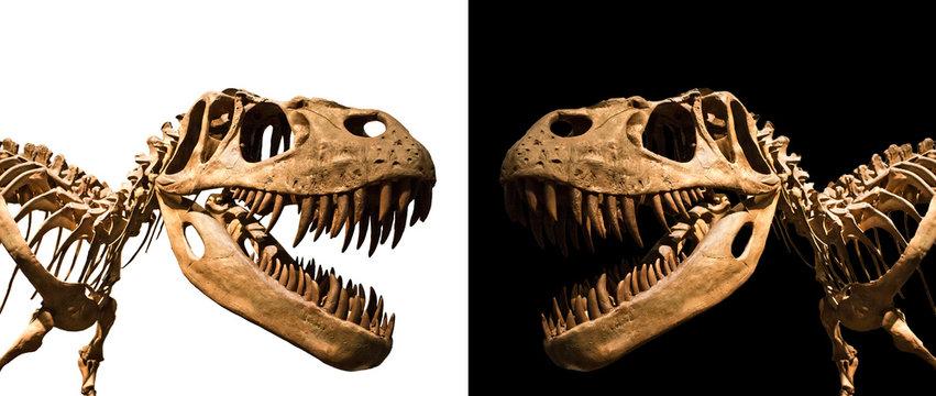 Tyrannosaurus Rex skeleton isolated on black and white backgroun