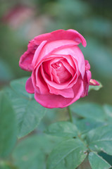 miss all-american beauty, a pink rose in a garden