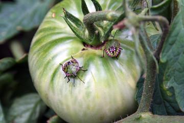 Cerca immagini cimice verde - Cimice del pomodoro ...
