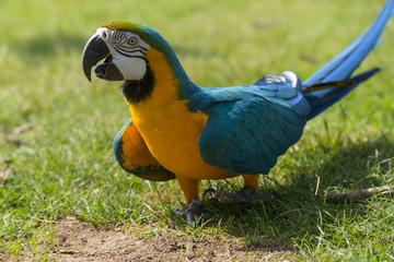 L'Ara bleu (Ara ararauna), encore appelé Ara bleu et jaune ou