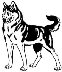 siberian husky black white