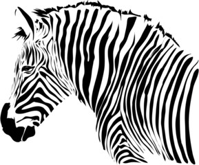 Nice head illustration of zebra isolated on white background