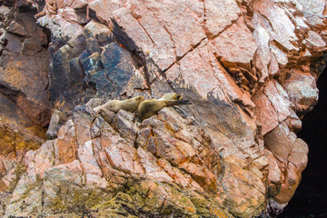 South American Sea lions relaxing on rocks of Ballestas Islands