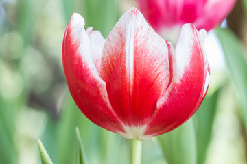 Coldup Red Colored Tulip Flower