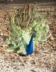 Peacock in the autumn forest