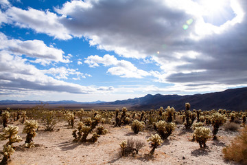 Chollas Cactus, Joshua Tree National Park, California