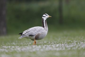 Bar-headed goose, Anser indicus