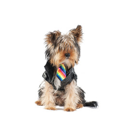 Yorkshire Terrier with a jacket and tie