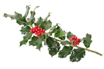 Holly branch on white, clipping path