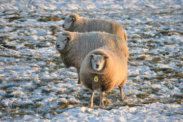 Poster Sheep Schapen hebben het warm door hun wol in de winter