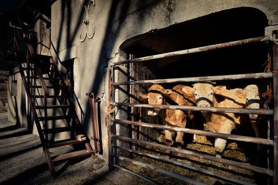Vaches élevage traditionnel