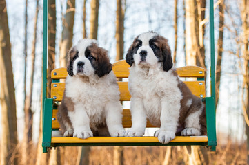 Fototapete - Two saint bernard puppies siting on the seesaw