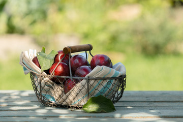 Wire basket of freshly picked plums