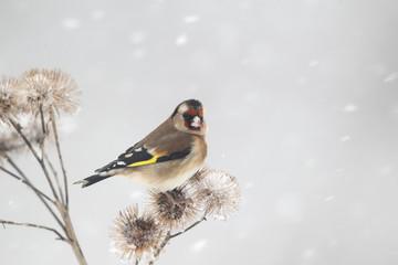Fotoväggar - Goldfinch, Carduelis carduelis