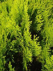 Thuja occidentalis leaves background