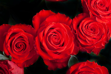 Scarlet roses on dark