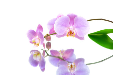 orchid with reflection on white background
