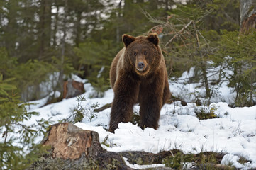 Brown bear in the woods in winter