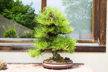 Pine tree bonsai in front of window