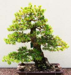 Pine tree bonsai in green and yelow colors on white background