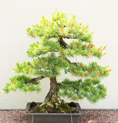 Pine tree bonsai on white background