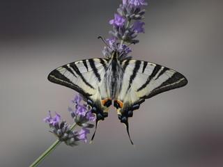 Бабочка подалирий на цветке лаванды