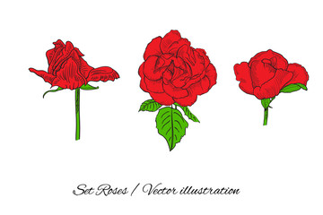 Vector flower roses set on an isolated background. Vector illust